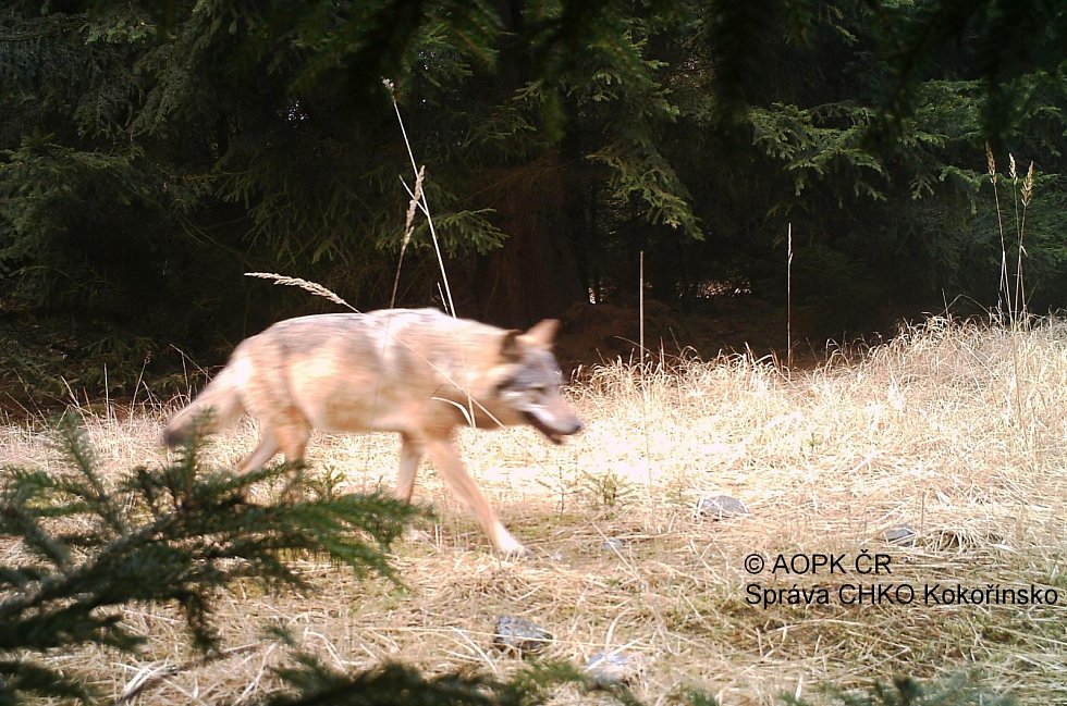 Vlk ve fotopasti. Ilustrační foto.