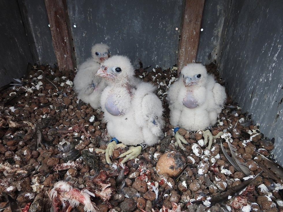 Ornitolog okroužkoval trojčata sokolů z Vráta. Podle něj jsou samičky.