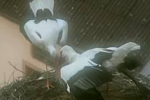Dojemné přivítání provázelo návrat čapí samičky na hnízdo