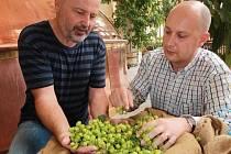 Unikátní pivo včera vyráběli v Budvaru, kam doputoval chmel sklizený ráno u Blšan. Jediná várka speciálního piva BUD Premier Select bude hotová za 200 dní.