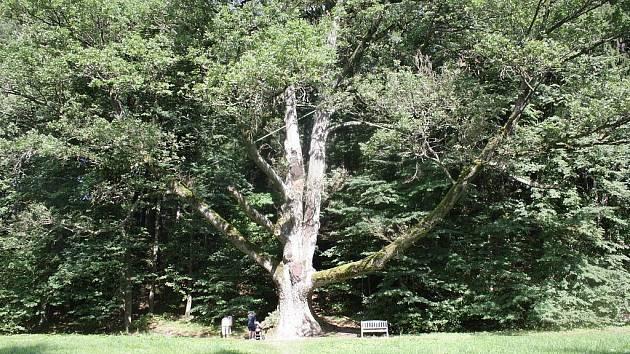 Strom svatebčanů v Terčině údolí u Nových Hradů.
