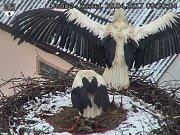 Vlastním tělem musí před nepřízní počasí chránit svá čtyři ptáčata i čápi v Dubném na Českobudějovicku.