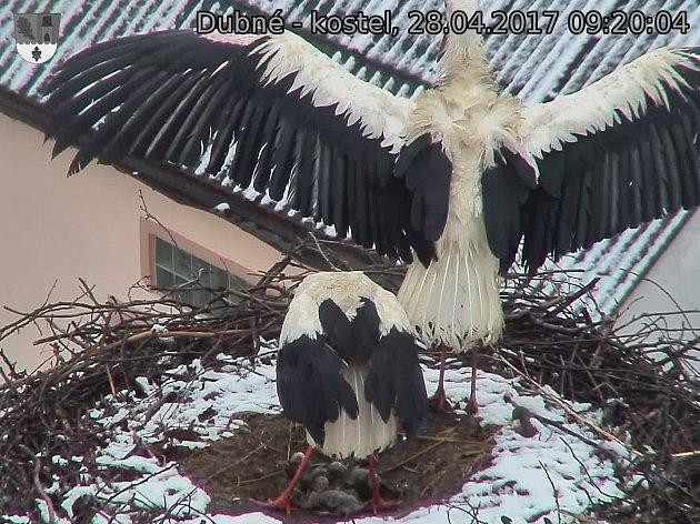 Vlastním tělem musí před nepřízní počasí chránit svá čtyři ptáčata ičápi vDubném na Českobudějovicku.
