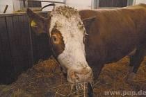Jak lidé nechali krávu žít.