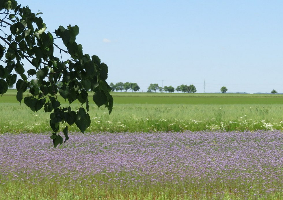 Jihočeská pole hrají barvami, kvete nejen mák setý, ale také svazenka a kolem silnic třeba i lupina alias vlčí bob.