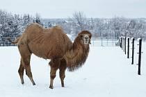 V Safari Resortu v Hluboké u Borovan na Českobudějovicku chovali čtyři velbloudy (výběh na snímku). Samec Alibaba bohužel uhynul, pravděpodobně se to stalo kvůli neukázněnosti návštěvníků.