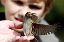 Ornitologové měli o víkendu svátek. Na sobotu a neděli připadl Evropský den ptactva. Na řadě vzácných lokalit a hojných ptačích koloniích v jižních Čechách se konalo po vedením zkušených ornitologů pozorování ptactva, ukázky kroužkování a odchytu ptáků. N