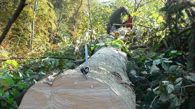 Dřevaři nemají v lese na růžích ustláno. Na začátek kmene se vždy zahákne pásmo.
