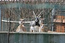 S příchodem jara se v ZOO Hluboká nad Vltavou narodila první mláďata: lemuří dvojčata, malý kočkodan husarský (první letošní mládě) nebo jehňata ouessantských ovcí. Na snímku antilopy jelení.