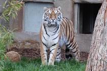 Tygřice Altaica učinila v minulém týdnu první kroky po výběhu v hlubocké ZOO Ohrada (jak ukazuje snímek). Zatím ale sama. S tygrem Oliverem, se kterým má v budoucnu vytvořit pár, se má potkat ve výběhu až příští rok.