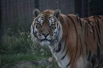 Vysoký věk šelmy - tygra ussurijského oslaví s návštěvníky v zoo Dvorec.