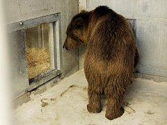 Medvěd plavý, nejmenší a velmi vzácný poddruh medvěda hnědého, je novým obyvatelem Zoo Ohrada. Dorazil po dlouhé cestě z Ruska.