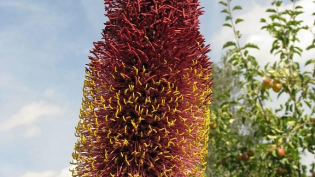 atnáct let se stará novohradský pěstitel Milan Koželuh o agave, které získal, když se rušila botanická zahrada na českobudějovickém výstavišti.