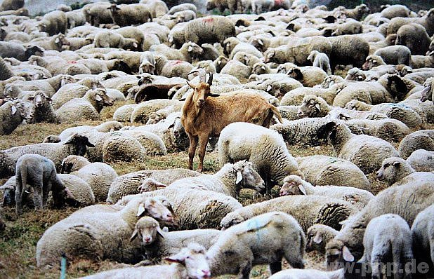 Sám mezi ovcemi.