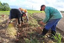 Vilhumovi při sběru brambor na poli v Plešovicích.