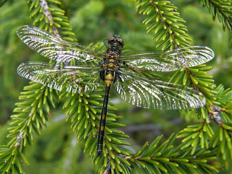 Dospělý samec vážky čárkované těsně po přeměně.