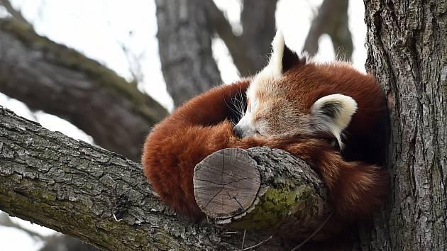 28.3.2020 - ZOO Brno - panda červená
