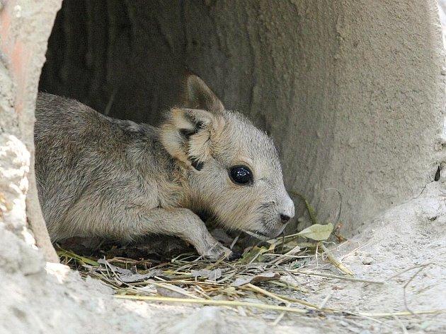 V brněnské zoo se narodilo mládě mary stepní.