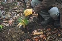 Lesníci Mendelovy univerzity v Brně začali v univerzitních lesích na sever od Brna vysazovat některé orientální druhy dřevin.