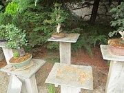 Zloděj odcizil na Ivančicku další několik desítek let pěstovanou borovici.