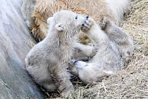 Lední medvíďata z brněnské zoo jsou s největší pravděpodobností páreček.