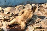 Lední medvíďata z brněnské zoologické zahrady se nejspíš budou jmenovat Kometa a Rondo.