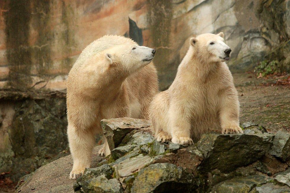 Lední medvědi slavili narozeniny v brněnské zoologické zahradě.