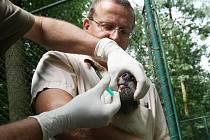 Chovatelům v brněnské zoologické zahradě se v pondělí podařilo odchytit dvě mláďata vlka arktického. Očipovali je, odčervili a naočkovali proti psince a vzteklině. To samé čeká v následujících dnech i ostatní mláďata z vlčí smečky.