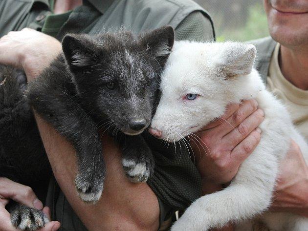 Pracovníci brněnské zoo očipovali lišky polární.