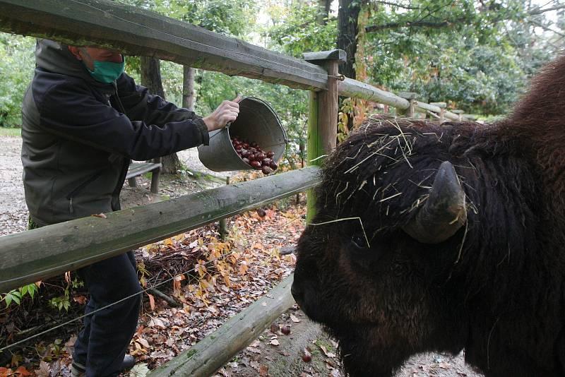 Krmení bizonů v ZOO Brno