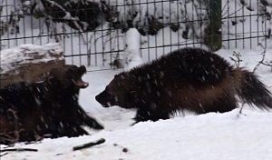 Na sněhu hrající si rosomáci v brněnské zoo.