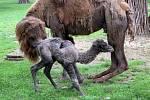 Narození nového velblouda v brněnské zoo.