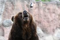 Komentované krmení medvědice Kamčatky v brněnské zoologické zahradě.