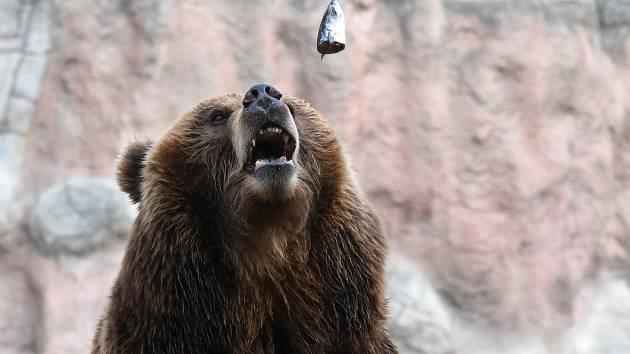 Rybí pochoutky přímo do tlamy. Krmení medvědí dámy si na dálku užily stovky lidí