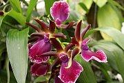 Výstava Kvetoucí orchideje začala v sobotu ve skleníku Botanické zahrady a arboreta Mendelovy univerzity v Brně.