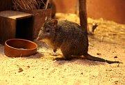 Trojice klokánků krysích přijela do brněnské zoologické zahrady.