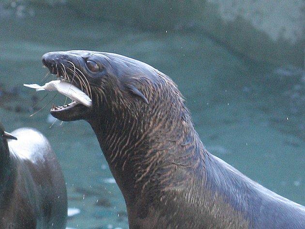 Stojka, kotoul nebo zamávání. Takovými kousky se v sobotu dopoledne chlubili lachtani v brněnské zoologické zahradě. Odměnou jim byla nejenom chutná ryba od jejich chovatelky, ale také nadšení návštěvníků.
