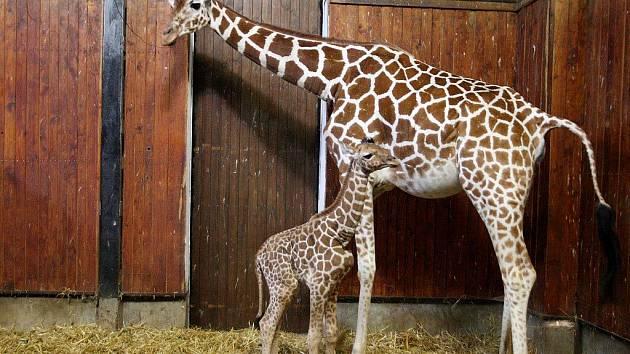 Žirafí mládě v brněnské zoologické zahradě.