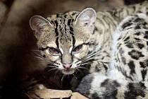 Je jen o něco větší než kočka domácí a žije převážně na stromech, z nichž dokáže slézat hlavou dolů. Unikátní kočkovitá šelma margay, dříve známá také pod názvem ocelot dlouhoocasý obohatila začátkem prosince pavilon šelem v brněnské zoo.