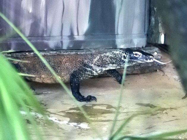 Varan komodský v brněnské zoo.