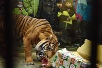 Nejenom lidé oslaví Štědrý den rozbalováním dárků. Vánoční nadílku dostanou i zvířata v brněnské zoo.
