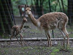 V brněnské zoo se narodila lama.