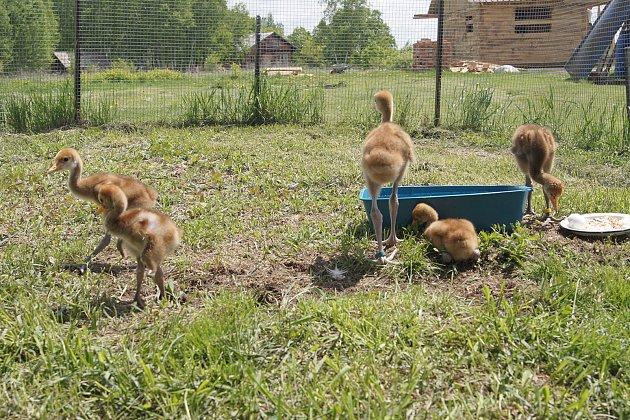 Dvě vejce jeřábů daurských a čtyři vejce jeřábů mandžuských odeslaných ze zoo vBrně, Olomouci a Chomutově dorazilo do Khinganské rezervace na východě Ruska. Tři dny po příjezdu se vylíhla dvě mláďata brněnských jeřábů.