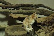 Dva nové kocoury lidé uvidí ve výbězích v brněnské zoo.