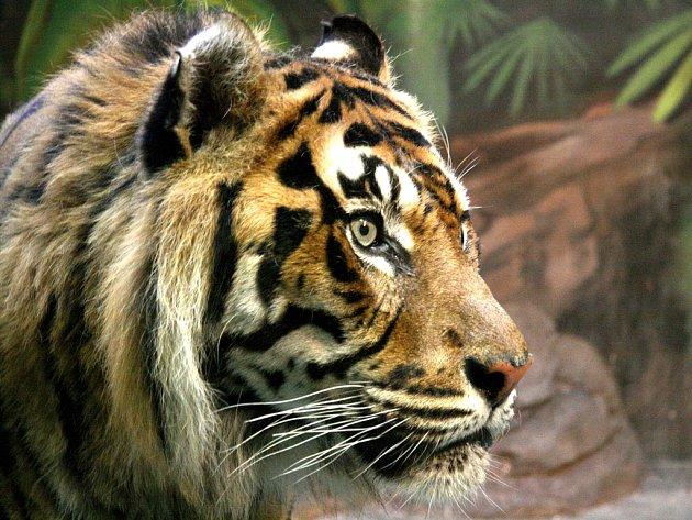 Nový tygr v brněnské yoo se jmenuje Kampar