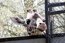 Žirafa  dorazila do brněnské zoo