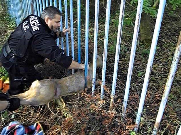 Strážníci vyprošťovali z plotu v Říční ulici v brněnské části Maloměřice zraněného srnce.