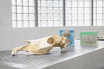 Na pitevně Veterinární a farmaceutické univerzity v Brně studenti a pedagogové zkoumají příčiny úmrtí zvířat. Nejčastěji pitvají psy, koně nebo prasata. Výjimkou nejsou ani sloni nebo žirafy.