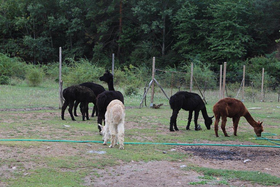 V brněnském Lamacentru Hády chovatelé pokřtili lamí mláďata.