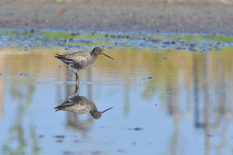 Zachycení ptáků v přírodě je pokaždé plné překvapení. Na snímku je vodouš tmavý.